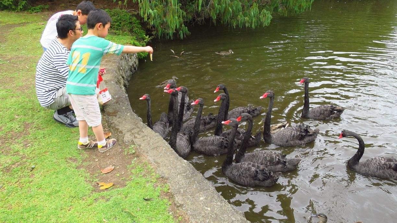 """华人最爱去的鸭子湖,竟然有人在偷偷""""放生""""这种危害巨大的动物"""